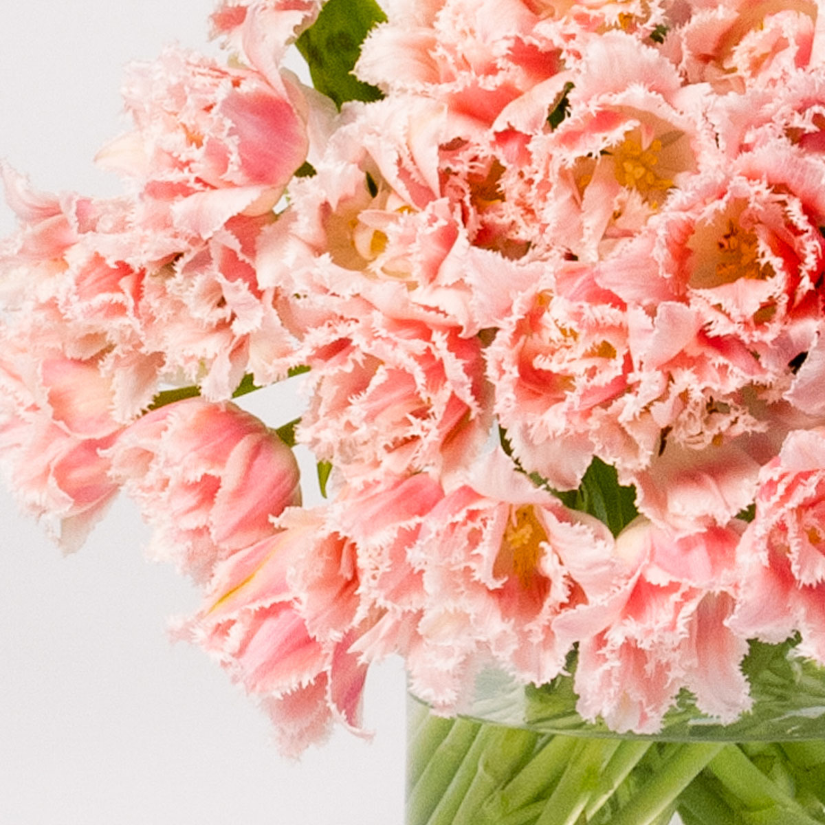 Send flowers Online | Cotton Candy Pink Fringe Tulip