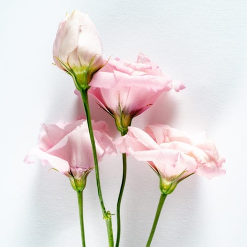 Bloom - Ballet Slipper Pink Lisianthus