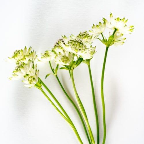 Bloom - Porcelain White Astrantia
