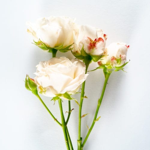 Bloom - Blush Pink Spray Rose