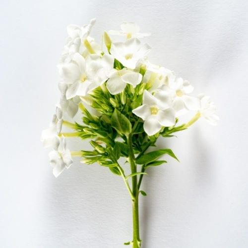Bloom - Polar White Phlox