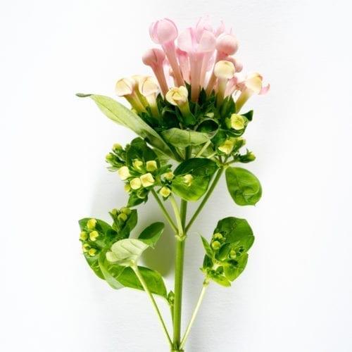 Bloom - Ballet Slipper Pink Bouvardia