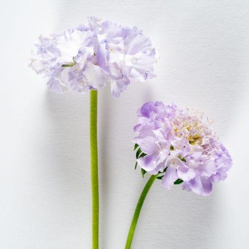 Bloom - Lavender Purple Scabiosa