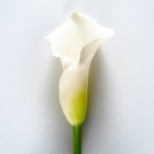 Bloom - Arctic White Calla Lily