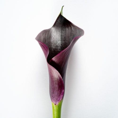 Bloom - Black Onyx Calla Lily