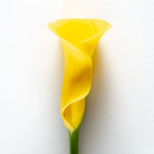 Bloom - Goldfinch Yellow Calla Lily