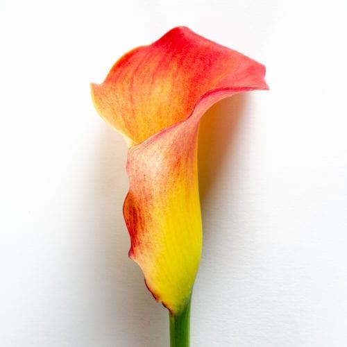 Bloom - Orange Marmalade Calla Lily