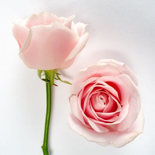 Bloom - Sweet Avalanche Rose