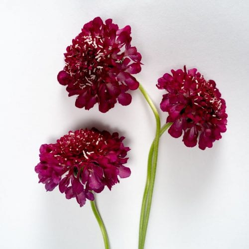 Bloom - Raspberry Pink Scabiosa