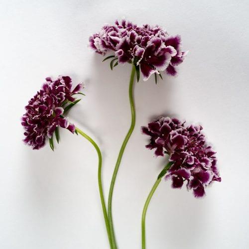 Bloom - Amethyst Purple Scabiosa