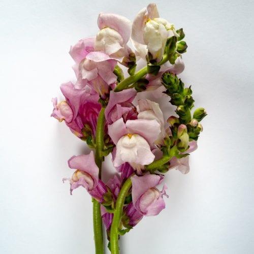 Bloom - Lavender Purple Snapdragon