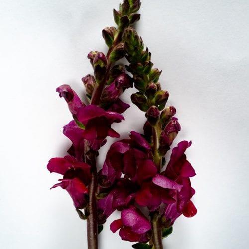 Bloom - Merlot Red Snapdragon