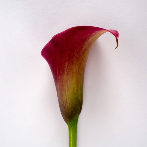 Bloom - Raspberry Red Calla Lily