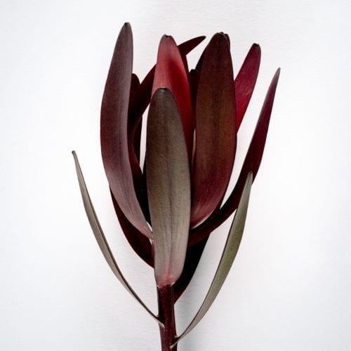 Bloom - Bordeaux Red Leucadendron