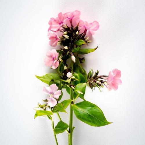 Bloom - Cotton Candy Pink Phlox