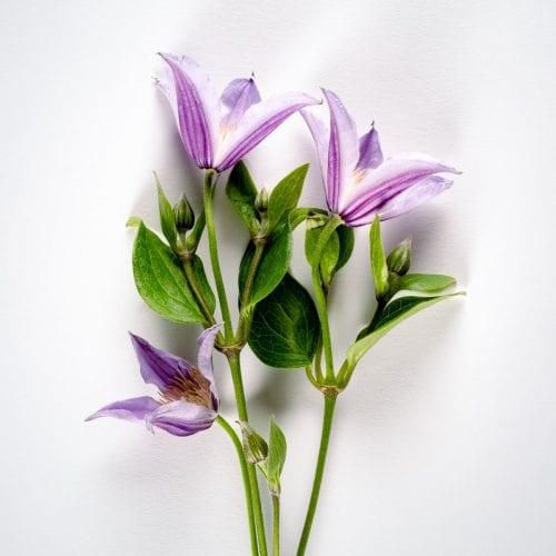 Bloom - Amethyst Purple Clematis