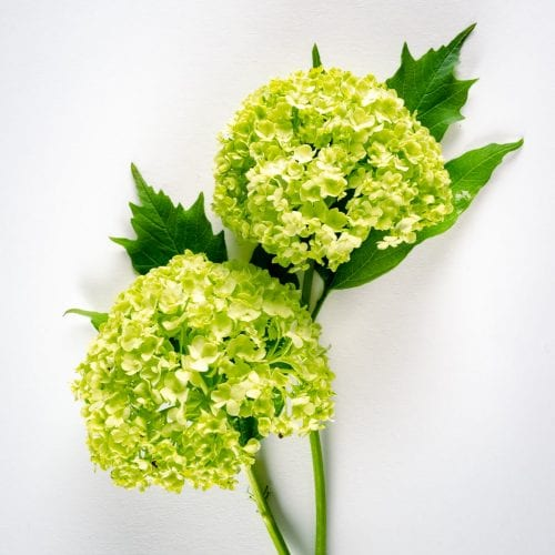 Bloom - Green Viburnum