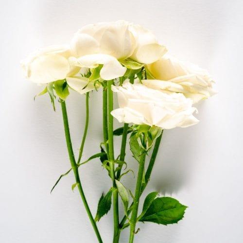 Bloom - French Vanilla Spray Rose
