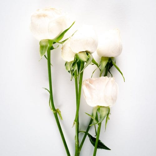 Bloom - Snowflake White Spray Rose