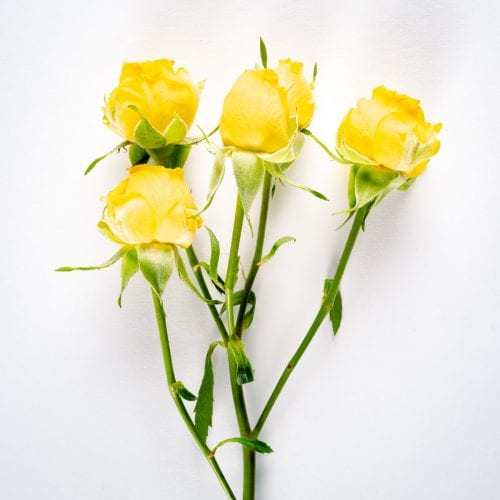 Bloom - Lemon Zest Yellow Spray Rose