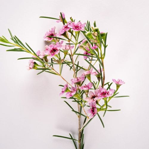 Bloom - Cotton Candy Pink Wax Flower