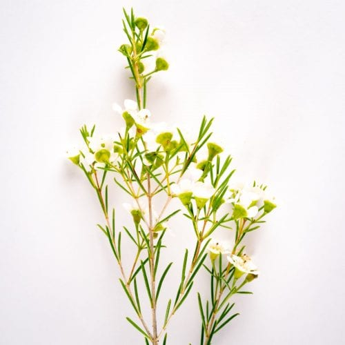 Bloom - Cloud White Wax Flower