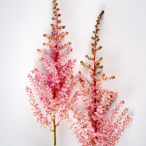 Bloom - Cotton Candy Pink Astilbe
