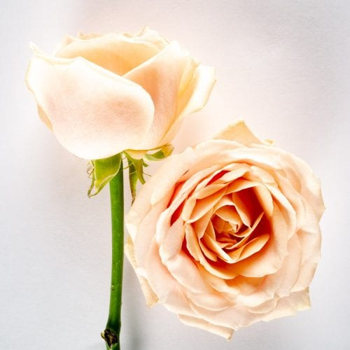 Bloom - Pearl Avalanche Rose