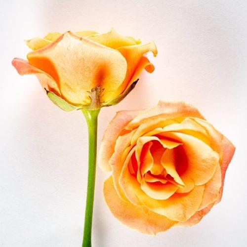 Bloom - Coral Sunset Rose