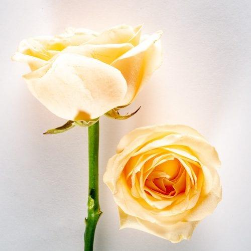 Bloom - Peach Bellini Rose