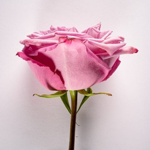 Bloom - Muddled Grape Rose