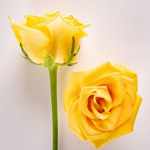 Bloom - Golden Sunbeam Yellow Rose