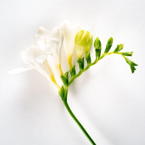 Bloom - Arctic White Freesia