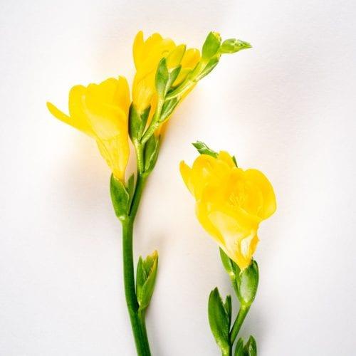 Bloom - Goldfinch Yellow Freesia
