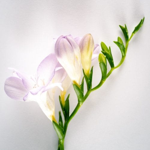 Bloom - Violet Dust Lilac Freesia