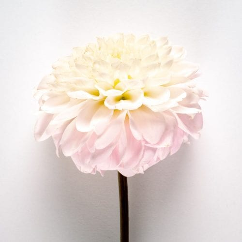 Bloom - Ballet Slipper Pink Dahlia