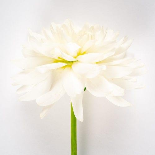 Bloom - Porcelain White Dahlia