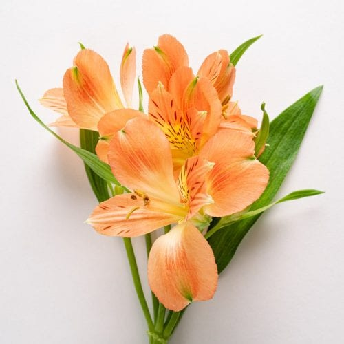 Bloom - Orange Marmalade Alstroemeria