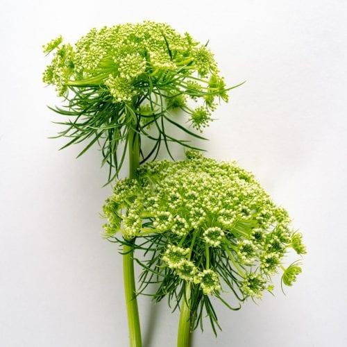 Bloom - Green Ammi