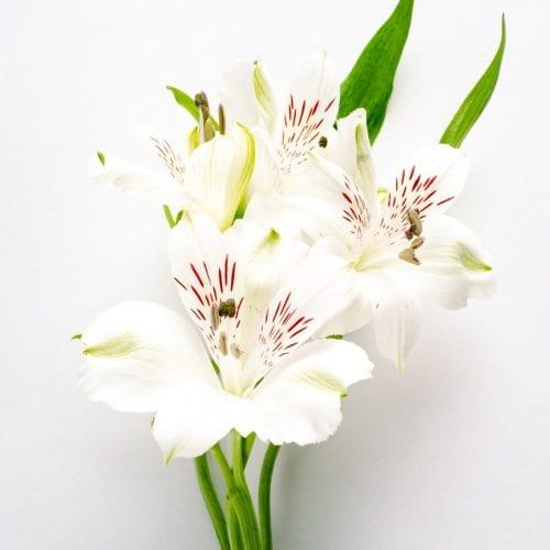 Bloom - Arctic White Alstroemeria