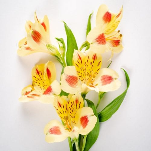 Bloom - Sunshine Yellow Alstroemeria