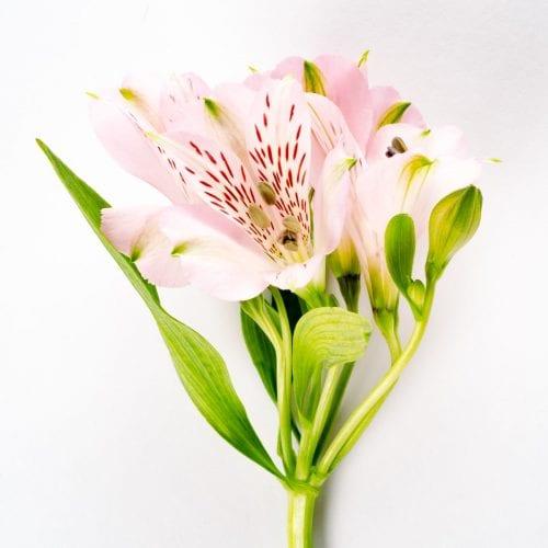 Bloom - Powder Pink Alstroemeria