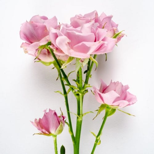 Bloom - Ballet Slipper Pink Spray Rose