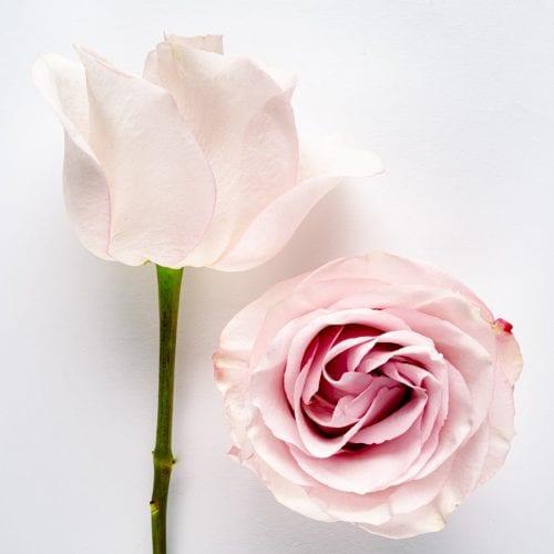 Bloom - Secret Garden Rose
