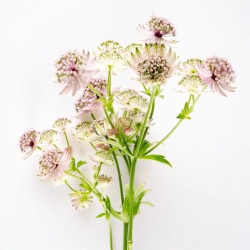 Bloom - Raspberry Pink Astrantia