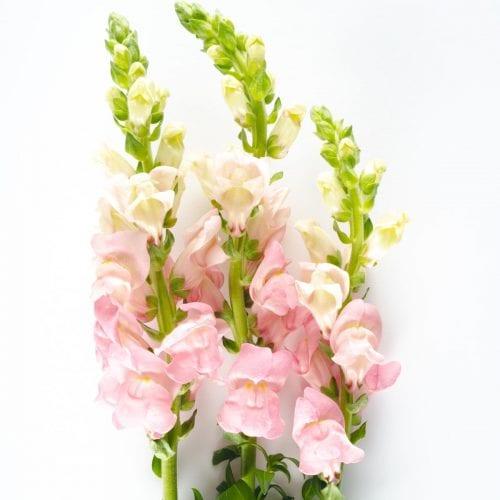 Bloom - Ballet Slipper Pink Snapdragon