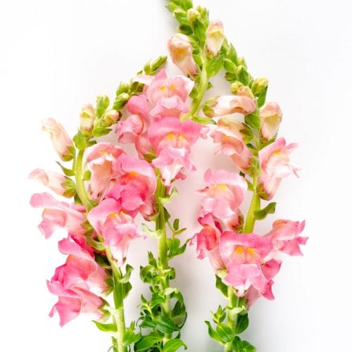 Bloom - Coral Snapdragon