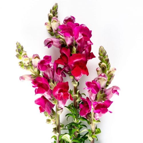 Bloom - Cerise Pink Snapdragon