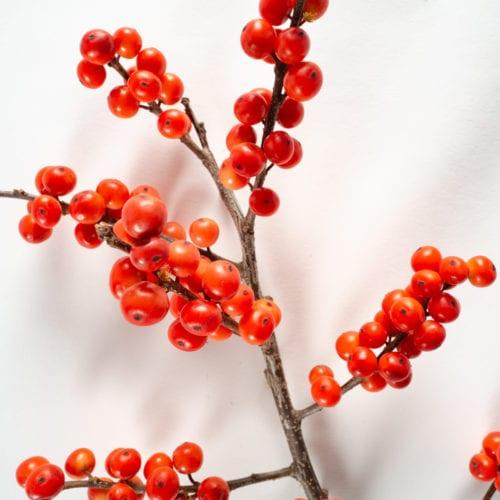 Bloom - Royal Red Ilex