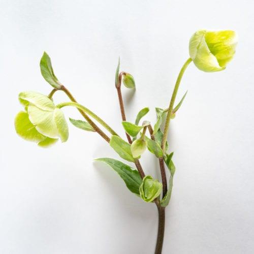 Bloom - Pickle Green Hellebores